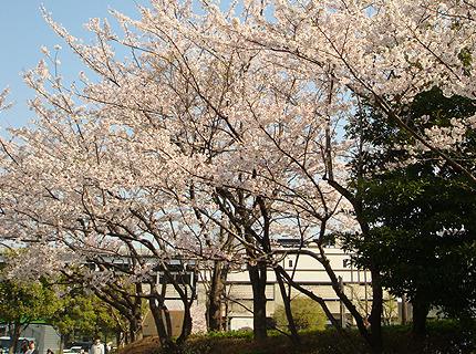 新木場駅前の桜