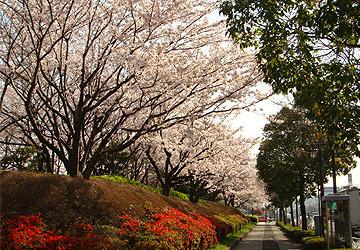 新木場駅前の桜並木
